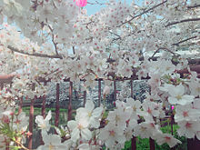 風景の画像(目黒川に関連した画像)
