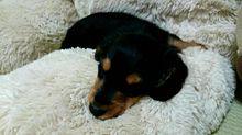犬の画像(小さいに関連した画像)
