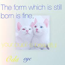 オッドアイの画像(白猫 オッドアイに関連した画像)
