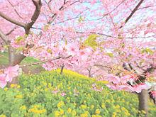 blossomの画像(プリ画像)