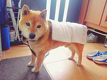 柴犬ちゃんの画像(プリ画像)