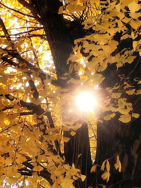 夕日とイチョウの画像(プリ画像)