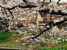 もう桜が沢山咲いてますね プリ画像