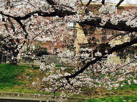 もう桜が沢山咲いてますねの画像(プリ画像)