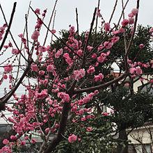 そういえば今年の梅も綺麗でした プリ画像