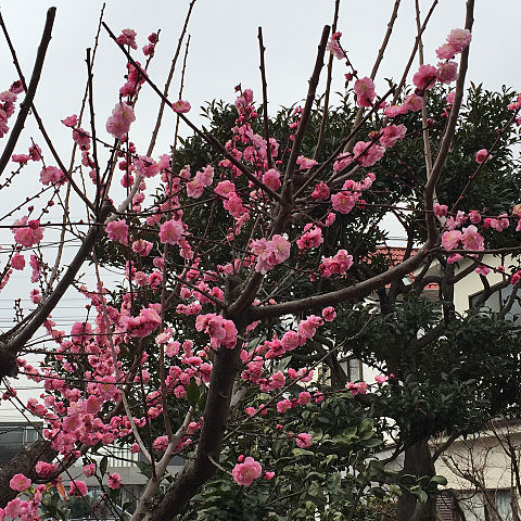 そういえば今年の梅も綺麗でしたの画像 プリ画像