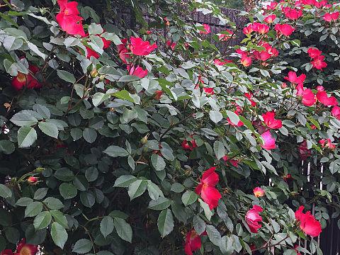 花が今結構咲いてます。の画像 プリ画像