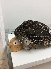 アカアシモリフクロウのジュニアの画像(プリ画像)
