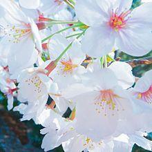 桜🌸 プリ画像