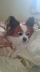 家で飼っている犬U^ェ^Uの画像(プリ画像)