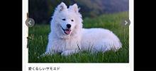 山下智久さんお気に入り犬種「サモエド」1頭約100万円 プリ画像