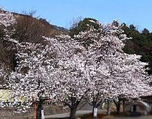 桜満開🌸 プリ画像