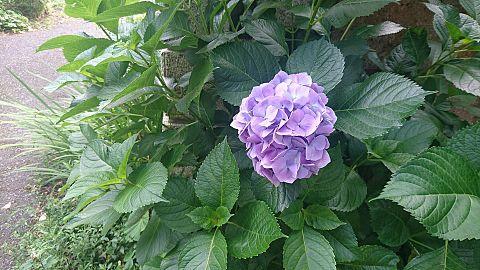 綺麗な紫陽花!の画像(プリ画像)