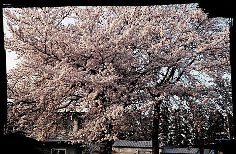 桜咲くの画像(プリ画像)