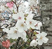美しの桜 プリ画像