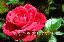 赤いバラ   花言葉の画像(あなたを愛していますに関連した画像)