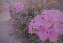 紫陽花の画像(辛いに関連した画像)