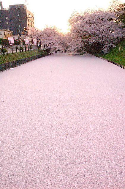 桜の海の画像(プリ画像)
