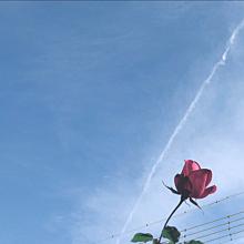 バラの画像(ひこうき雲に関連した画像)