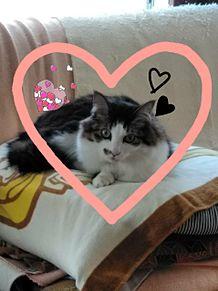 我が家の猫です プリ画像
