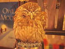 コキンメフクロウの画像(プリ画像)