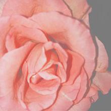 薔薇の画像(爽健美茶に関連した画像)