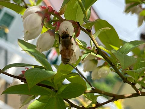 Blue Berry Flower garden honey bの画像(プリ画像)