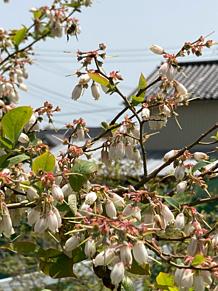 Blue Berry Flower garden honey b プリ画像