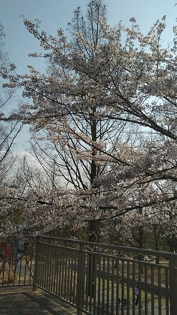 埼スタの周りの桜の画像(プリ画像)
