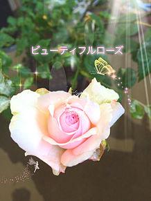 庭で撮った薔薇 プリ画像