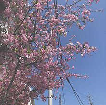 桜の画像(アイコン/トプ画/ホーム画/素材に関連した画像)