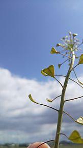 ペンペン草の画像(自然に関連した画像)