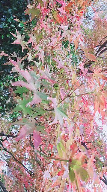 紅葉🍁の画像 プリ画像