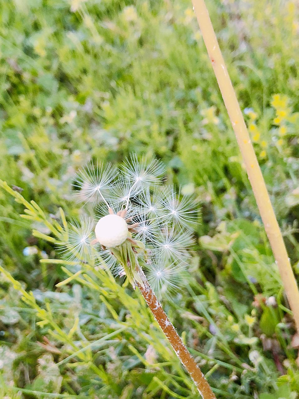 たんぽぽ植物画像