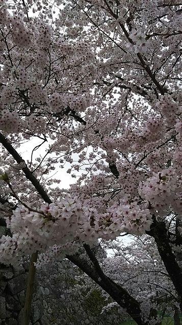 咲くがまんかいですの画像(プリ画像)