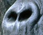 面白画像   ゴリラの鼻の画像(プリ画像)