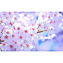 桜の画像(おしゃれ 待ち受けに関連した画像)