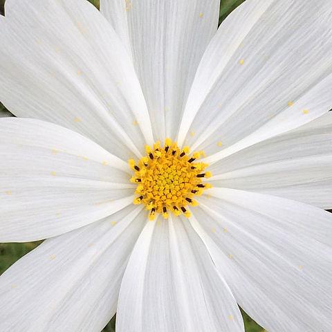 コスモス 花の画像 プリ画像