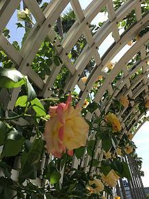 薔薇の画像(プリ画像)