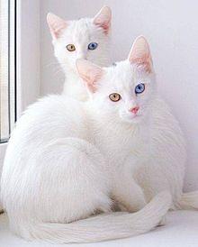 ねこの画像(白猫 オッドアイに関連した画像)
