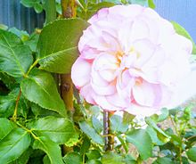 🌹花 薔薇 バラ ローズの画像(Flowerに関連した画像)