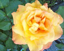 🌹 薔薇 ばら 花の画像(ローズに関連した画像)