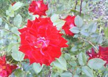🌹 薔薇 ばら の画像(ばらに関連した画像)