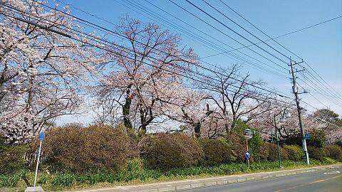 #桜 #午前中 ちょっと前の写真  #背景画の画像(プリ画像)