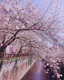 目黒川桜🌸の画像(目黒川に関連した画像)