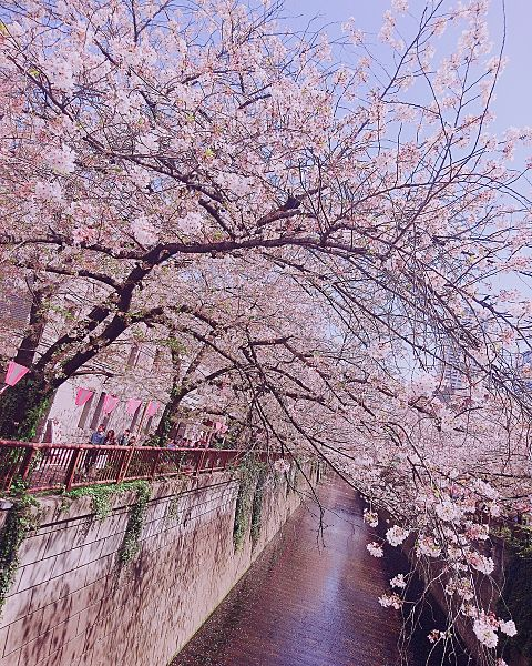 目黒川桜🌸の画像 プリ画像