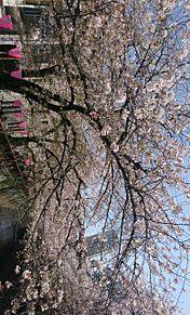 桜🌸の画像(目黒川に関連した画像)