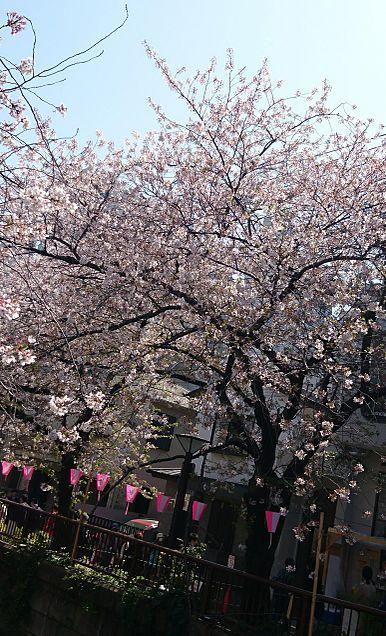 桜🌸の画像 プリ画像