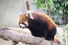 レッサーパンダの画像(レッサーパンダに関連した画像)