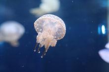 クラゲの画像(クラゲに関連した画像)